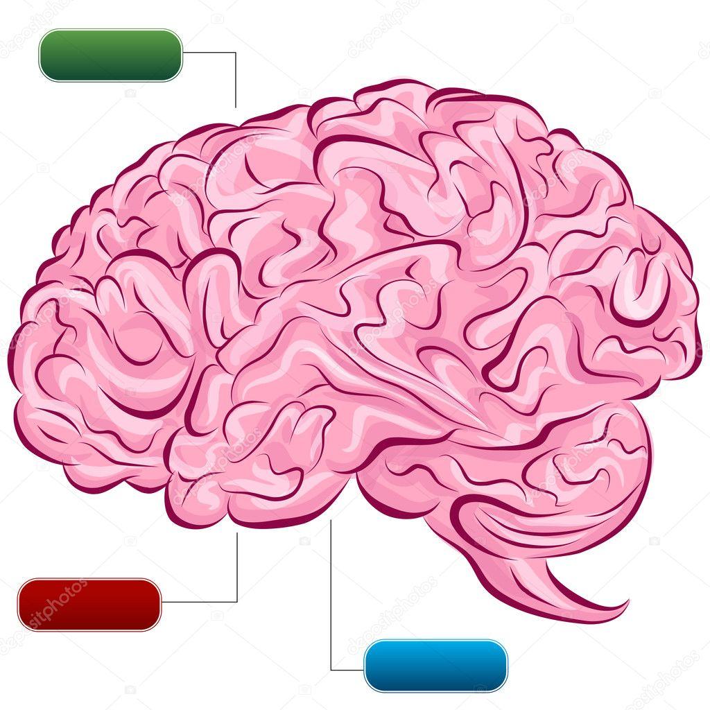 Diagrama de cerebro humano — Archivo Imágenes Vectoriales ...