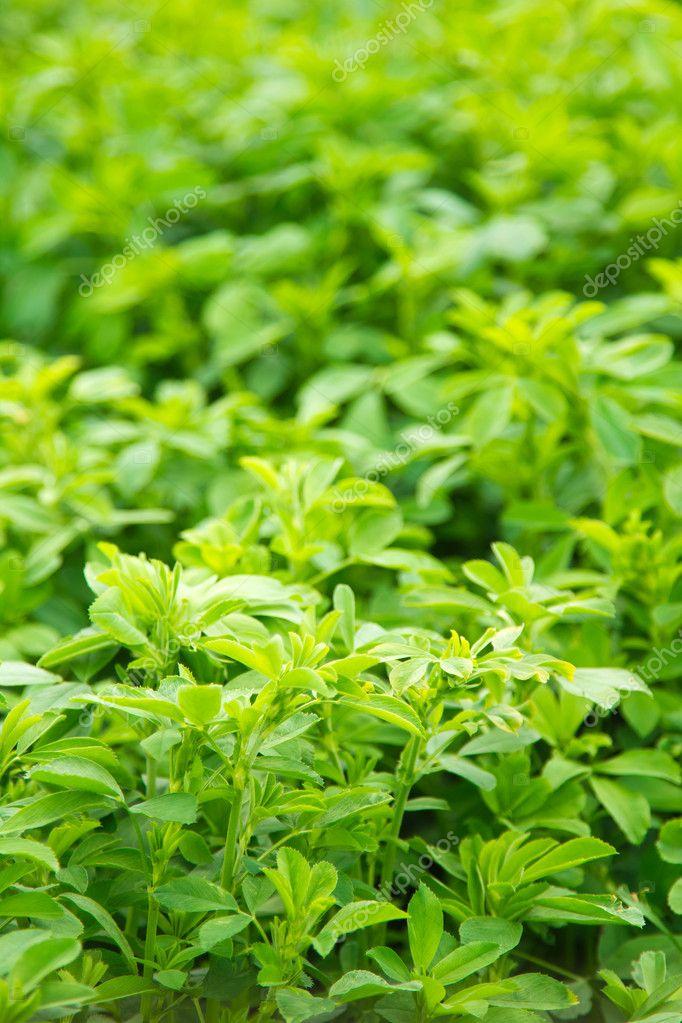 Lucerne (alfalfa)