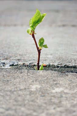 Tree growing through crack in pavement