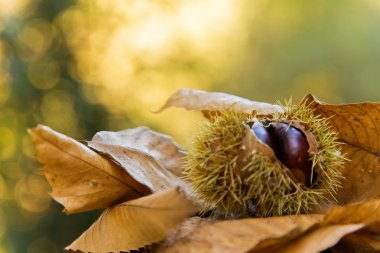 Chestnuts on autumn leaves background
