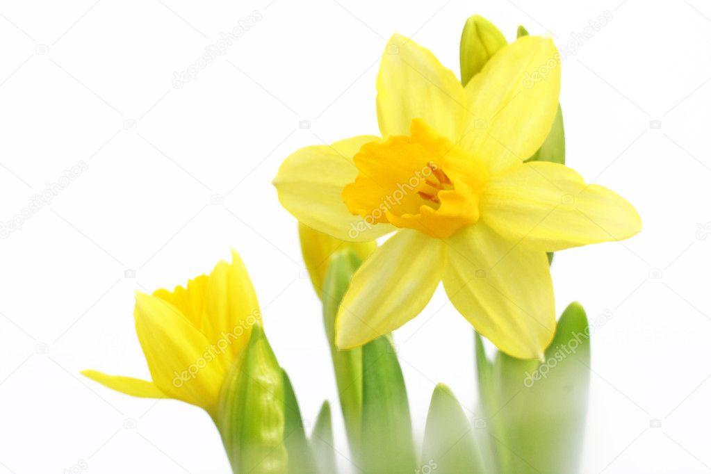 Flores De Narcisos Amarillos Foto De Stock C Roobcio 8937123 - Narcisos-amarillos