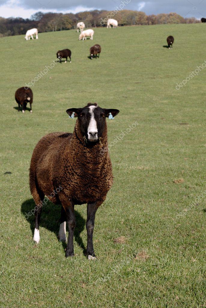 Zwartbles Schafe