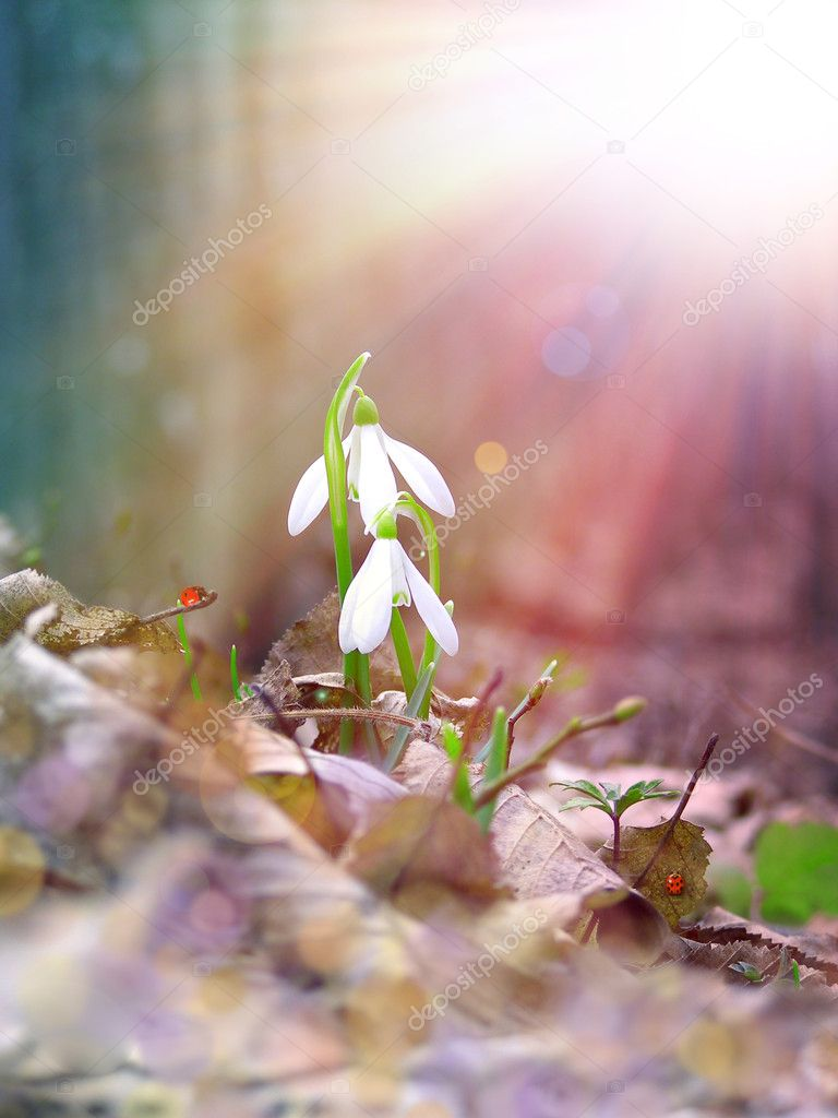 Two snowdrop under the sunlight