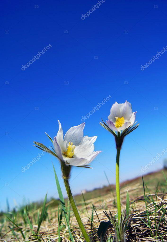 weiße Blumen erste Feder gegen den blauen Himmel — Stockfoto © a ...