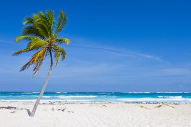 Coconut Palm Tree on the Tropical Beach, Dominican Republic