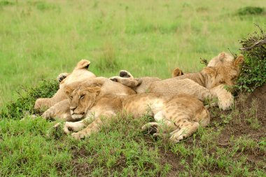 Three lion cubs sleeping on the grass in African savannah