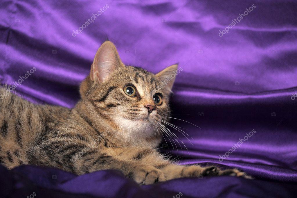 Pręgowany Kot Brytyjski Zdjęcie Stockowe Evdoha 8556779
