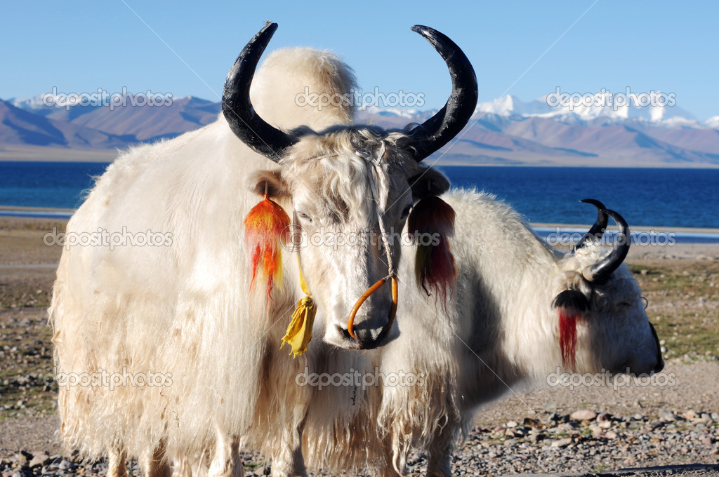 depositphotos_10653810-stock-photo-tibetan-white-yaks.jpg