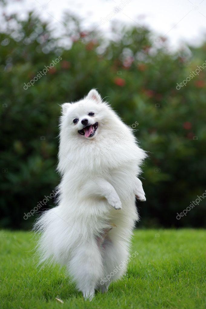 White pomeranian dog stock photo raywoo 8185017 white pomeranian dog stock photo altavistaventures Images