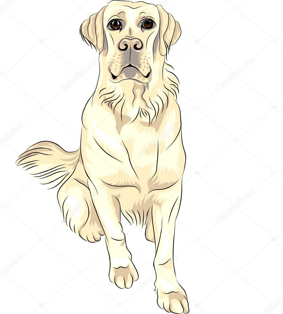 Vector color sketch dog breed white labrador retrievers sitting ...