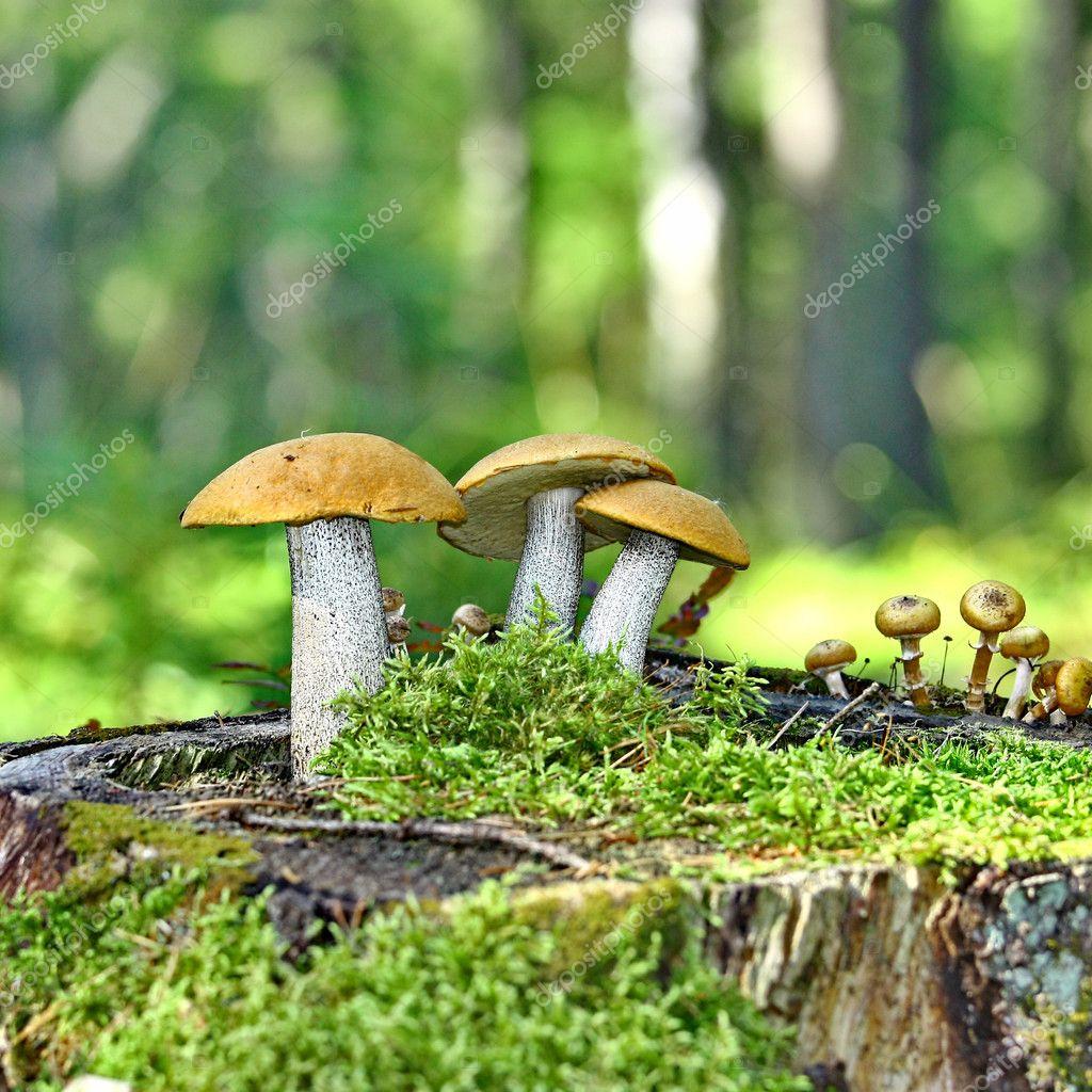 Mushrooms orange cap boletus