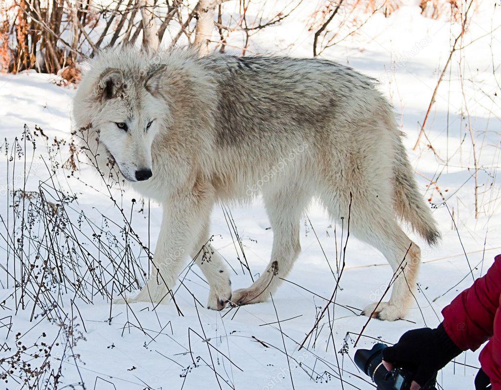 Photografing wolves