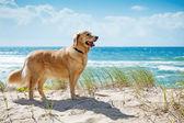golden Retriever auf einer sandigen Düne mit Blick auf Strand
