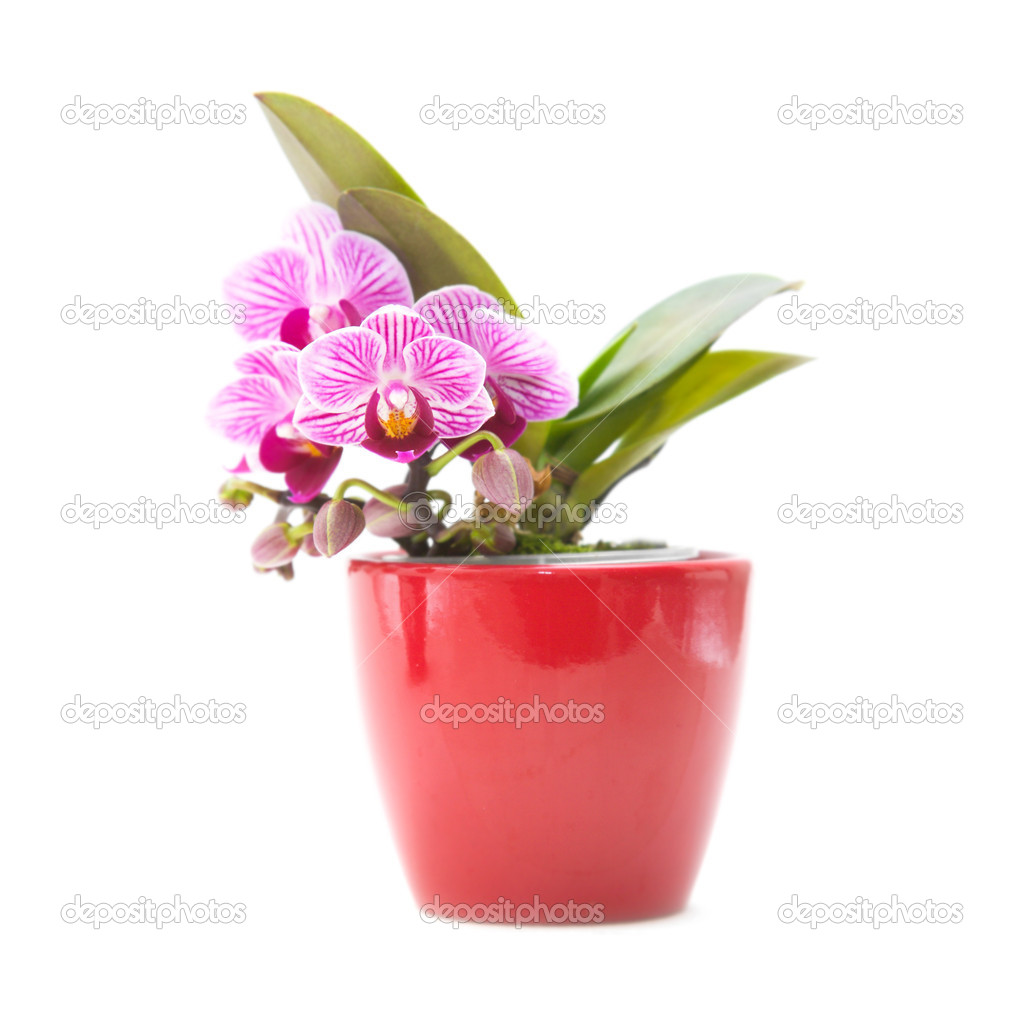 Mini stripy magenta Phalaenopsis orchid (moth orchid) in red pot
