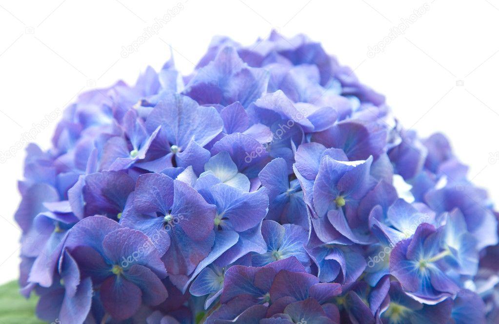 Ortensie Blu : Capolino brillanti ortensie blu lilla isolato su sfondo