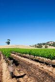 Barossa Valley Vineyard Scene
