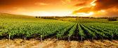 panorama při západu slunce vinice