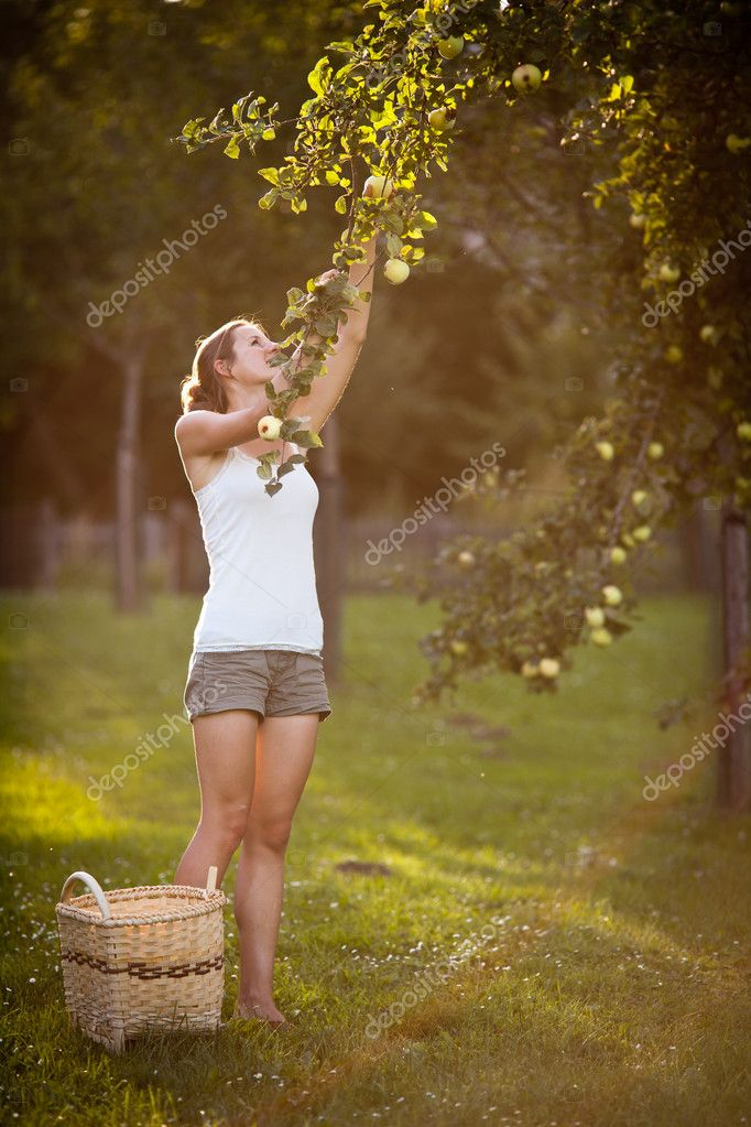 Young woman picking apples from an apple tree