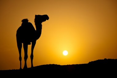Sun going down in a hot desert: silhouette of a wild camel at su