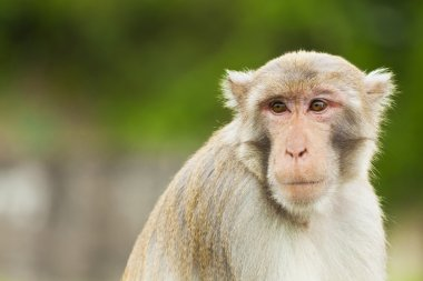 Monkey ape looking