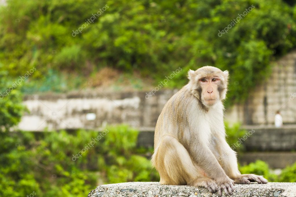 Monkey ape sitting and looking