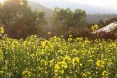 Fotografie Rape flowers field under sunlight