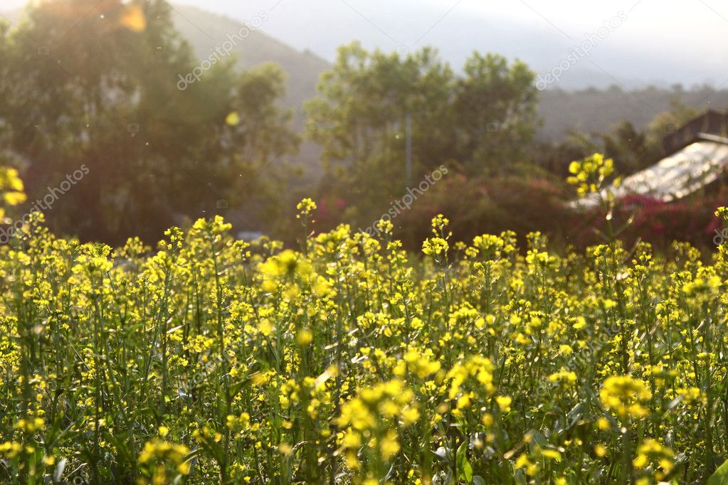 Rape flowers field under sunlight