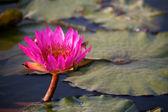 Fotografie lotosové květy v rybníku