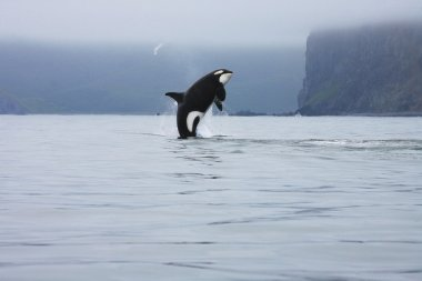 Orca jumping in the wild