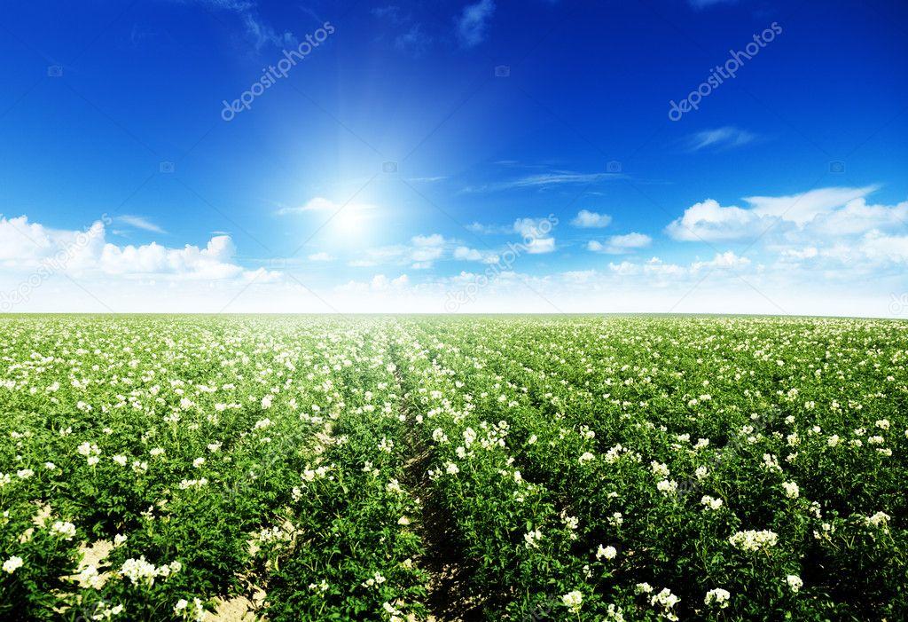 Potatos field