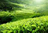 Fotografia piantagione di tè altopiani di cameron, Malesia