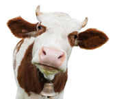 Fotografie Young cow isolated on white