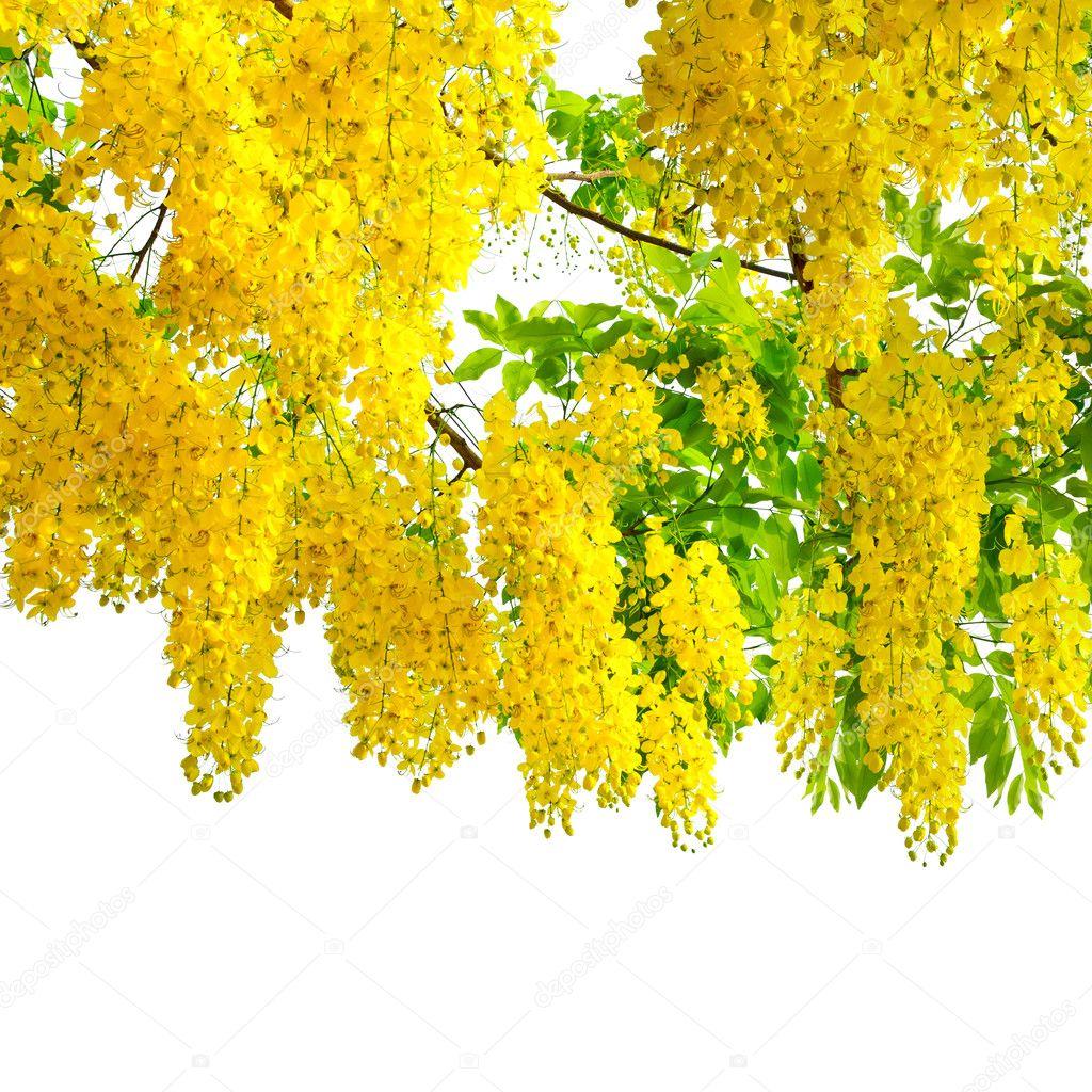 Golden grupo de lluvia dorada