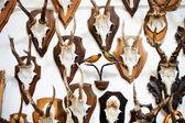 Fotografia cervo testa collezione trofeo
