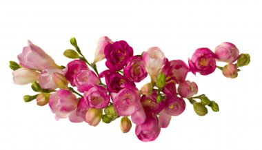 Pink freesias