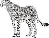 gepard - černé a bílé gepard