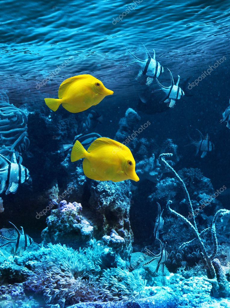 Two yellow tropical fishes
