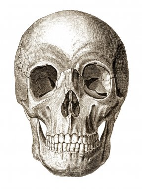 Skull illustration