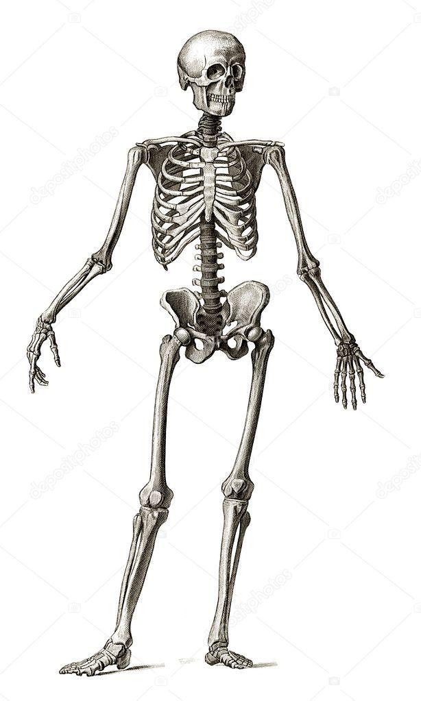 Old engraving of human skeleton