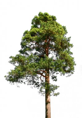 Lone pine tree on white