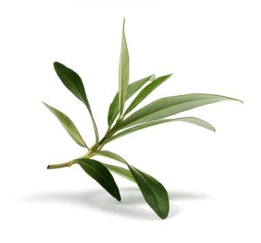 Fresh olive branch leaves