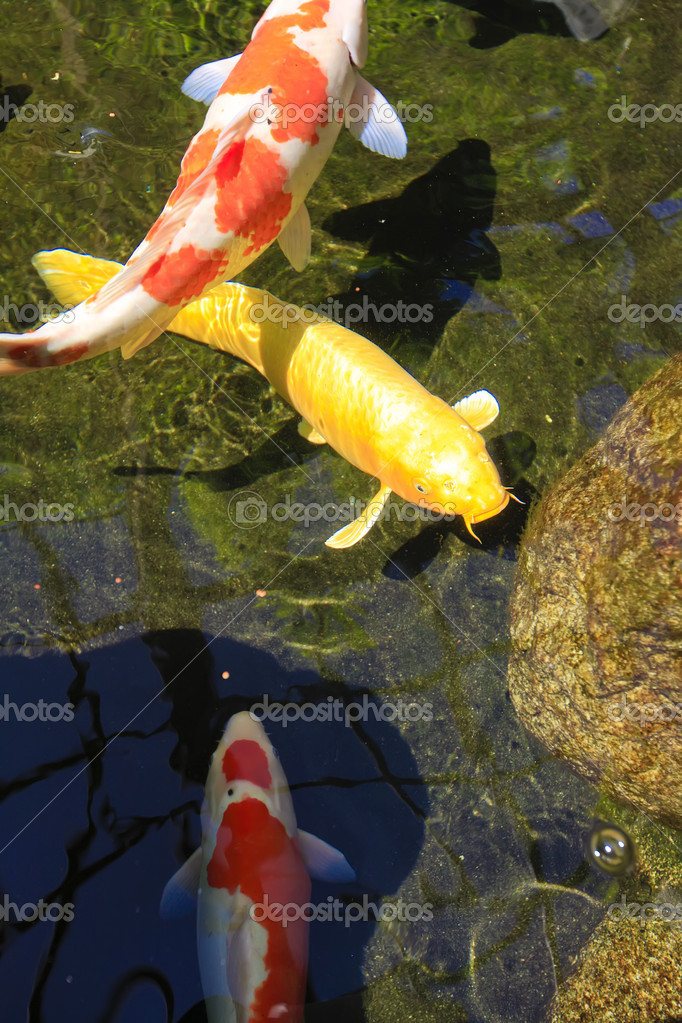 Koi carpa asiatica di pesci nello stagno foto stock for Prezzo carpa koi