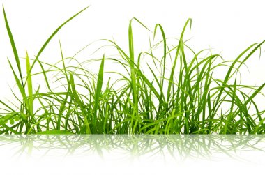 Green fresh grass isolated on the white background.
