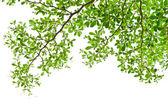 Fotografia foglie verdi isolate su bianco