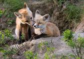 Fox dresy Kanada