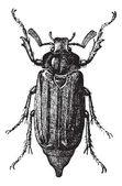 Fotografie Abb. 10. Maikäfer oder Bug, Vintage Gravur