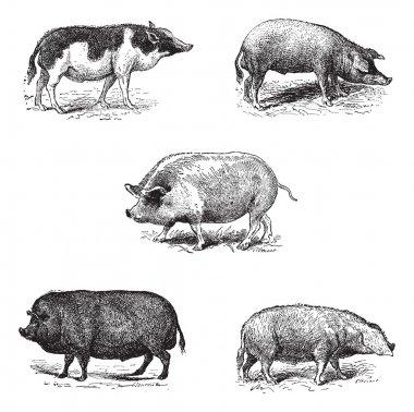Pigs 1. Pig Siam. 2. Szalonta pig race. 3. Swine York. 4. Pork E