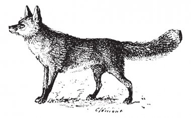 Fox, vintage engraving.
