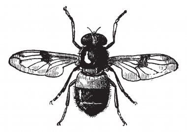 Fig 19. Volucella, vintage engraving.