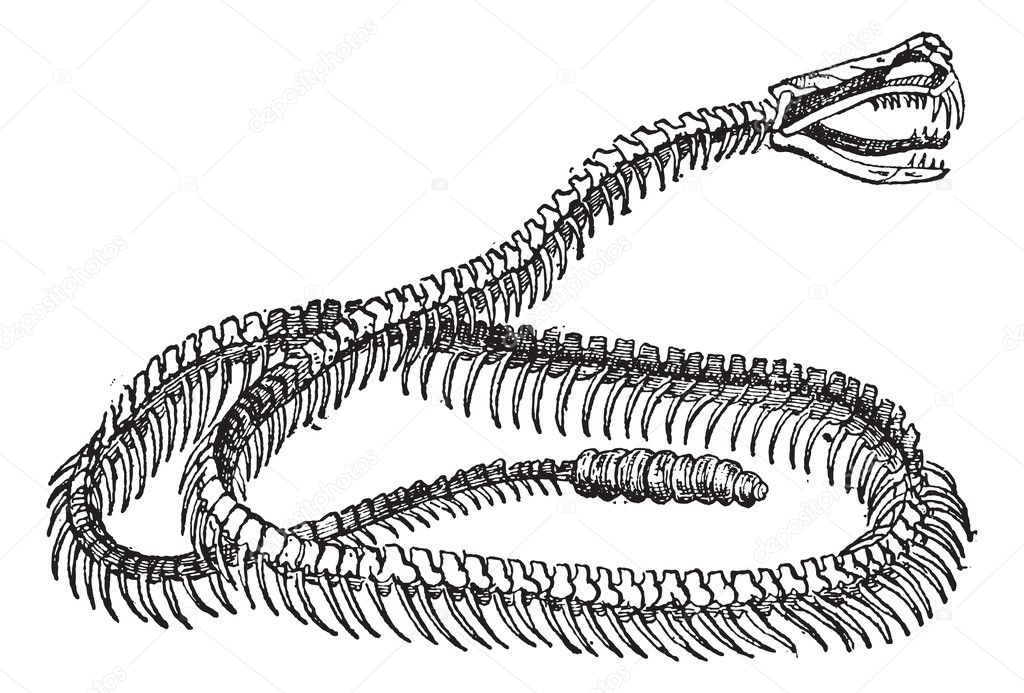 reptil, serpiente de cascabel esqueleto, vintage grabado — Vector de ...